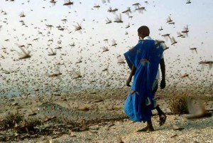 Swarms of Locusts Use Social Networking to Communicate